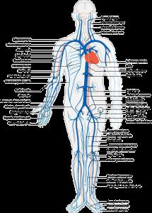 zwerchfell atmung muskel anatomie bauch brustraum, diaphragma lunge